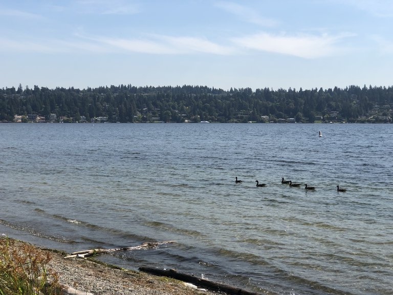 seward park ducks